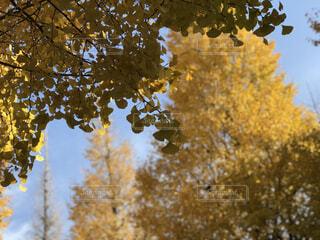 外苑前イチョウ並木の写真・画像素材[1653462]