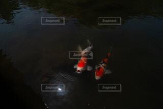 顔を出す美しい鯉の写真・画像素材[1646400]