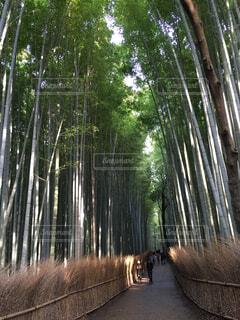 嵐山の竹林の写真・画像素材[1643143]