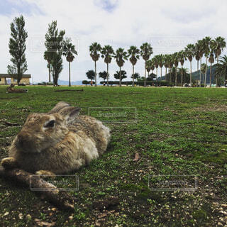 大久野島のウサギの写真・画像素材[1643176]