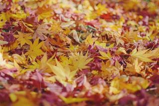 落ち葉の絨毯の写真・画像素材[1644963]