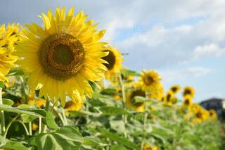 黄色の花の写真・画像素材[1669663]