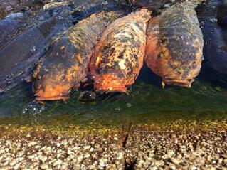 餌を求める鯉たち。の写真・画像素材[1652083]