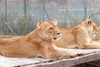 カメラ目線のライオン頂きました!の写真・画像素材[1799518]