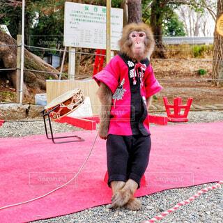 """イケメン日本猿の""""気をつけ!""""の写真・画像素材[1805750]"""