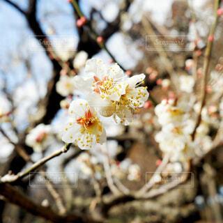 偕楽園の梅の写真・画像素材[1808882]