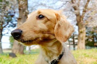 カメラを見ている茶色と白の犬の写真・画像素材[3071823]