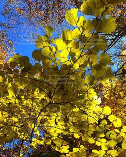 黄葉の写真・画像素材[1645900]