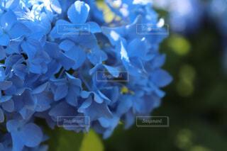 紫陽花の花の写真・画像素材[1651467]