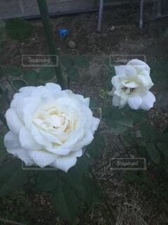白いバラの写真・画像素材[1648639]