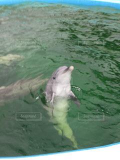 挨拶をするイルカの写真・画像素材[1665863]