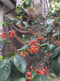 庭のサクランボの写真・画像素材[2141657]