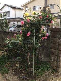 庭のバラの写真・画像素材[2141659]