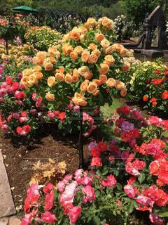 薔薇 真っ盛りの写真・画像素材[2161129]