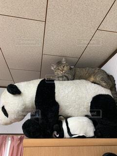 パンダの上のネコの写真・画像素材[2277768]
