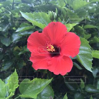 ハイビスカスの花のアップの写真・画像素材[1647702]