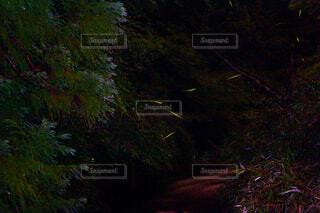 ゲンジボタルの写真・画像素材[1654411]