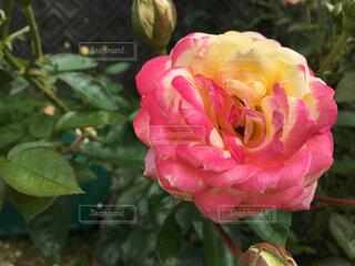 薔薇の写真・画像素材[1660007]