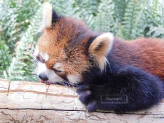 レッサーパンダの写真・画像素材[2228197]