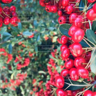 赤い実の写真・画像素材[1652116]