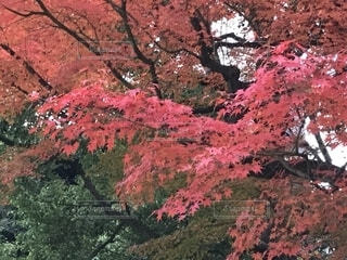 真っ赤な紅葉の写真・画像素材[1653195]