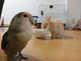 コザクラインコとウサギの写真・画像素材[1654744]
