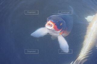 エサを欲しがる鯉の写真・画像素材[1732936]