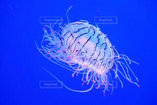 クラゲの写真・画像素材[1654283]