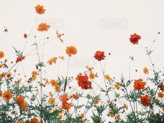 秋桜の写真・画像素材[1663298]