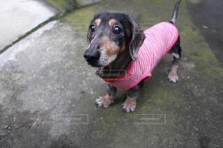 愛犬クッキーの写真・画像素材[1656202]