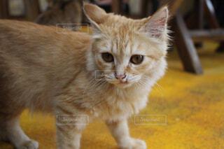 カメラを見ている猫の写真・画像素材[1656689]