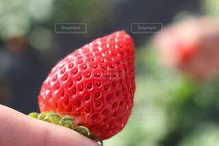 赤い果実を持った手の写真・画像素材[2133249]