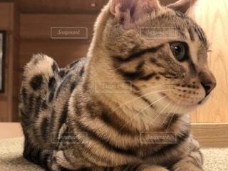 カメラを見ている猫の写真・画像素材[2313558]