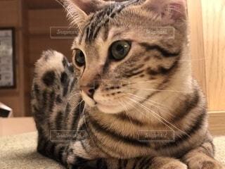猫のクローズアップの写真・画像素材[2313559]