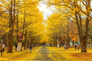 北海道大学のイチョウ並木の写真・画像素材[3888174]