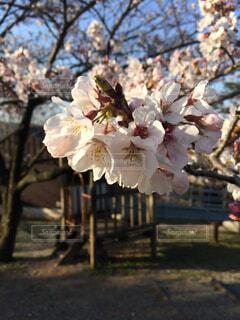 桜の写真・画像素材[1655541]