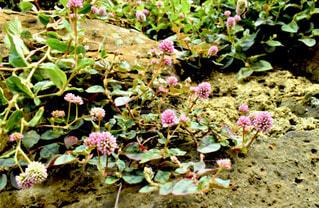 ピンク 花の写真・画像素材[1656852]