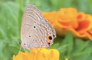 マリーゴールドにとまった蝶々の写真・画像素材[1657756]