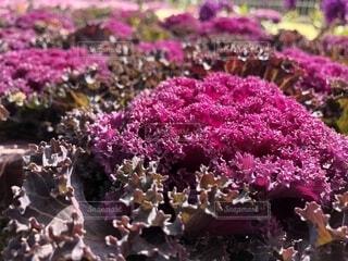 葉牡丹 紫の写真・画像素材[1658323]