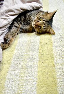 こたつでくつろぐ猫の写真・画像素材[1759244]
