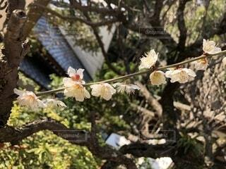 梅の花の写真・画像素材[1786986]