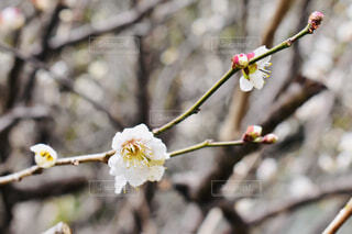 梅の花の写真・画像素材[1793332]