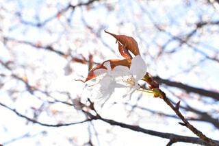 桜の写真・画像素材[1865128]