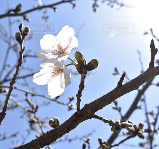 桜の写真・画像素材[1865129]