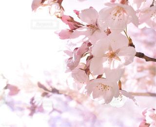 桜の写真・画像素材[1878798]