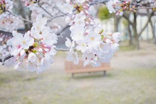 桜の写真・画像素材[1878799]
