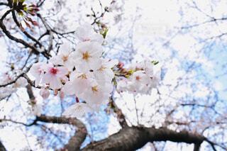 桜の写真・画像素材[1878801]