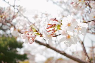 桜の写真・画像素材[2024652]