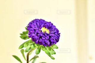 菊の花の写真・画像素材[2136096]