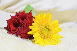 薔薇と向日葵の写真・画像素材[2433457]